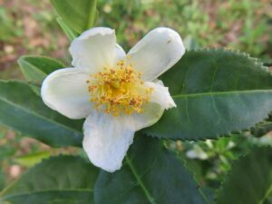 Teepflanze, Camellia sinensis